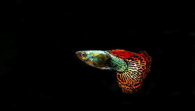 Mengenal Ikan Guppy dan Cara Perawatannya