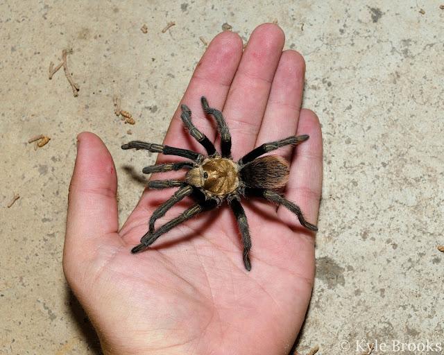 Holding a tarantula