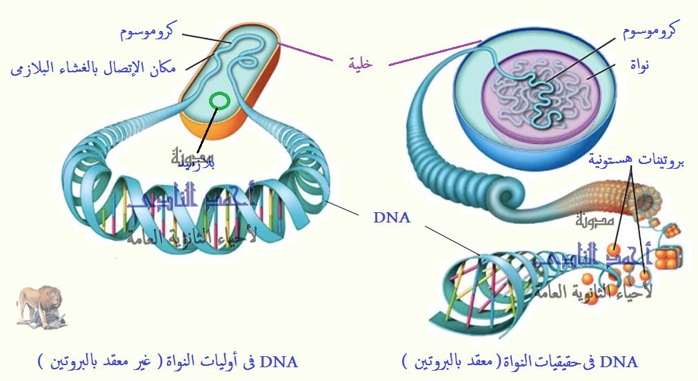 الحمض النووى ديؤكسى ريبوز DNA - الأدلة على أن DNA  هو المادة الوراثية - التحول البكتيرى  - جريفث - إفرى ومعاونوه