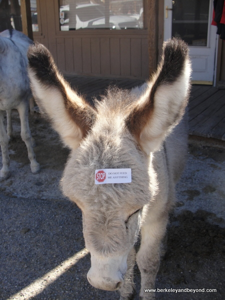 baby burro with do not feed note on forehead in Gold Rush town of Oatman, Artizona