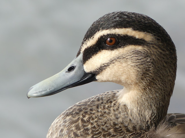 BIRD PORTRAITS#7 DUCK