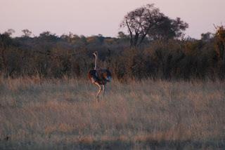 Struthio camelus, l'Autruche d'Afrique, un oiseau fréquent mais toujours impressionnant…
