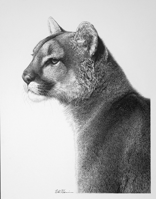 09-Puma-William-Bill-Harrison-Majestic-Wildlife-Carbon-Pencil-Drawings-www-designstack-co