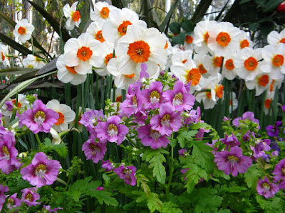 Allan Gardens Conservatory Spring Flower Show 2012  purple Schizanthus white daffodils by garden muses: a Toronto gardening blog