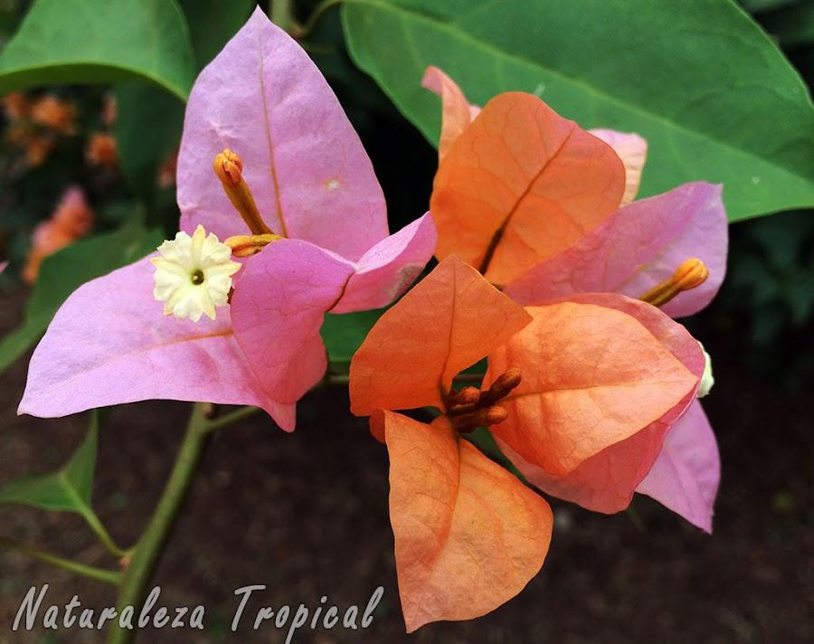 Las famosas Buganvillas y su floración característica, género Bougainvillea