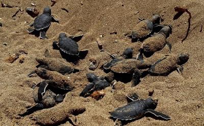 Ανησυχία επιστημόνων. Γιατί γεννιούνται μόνο θηλυκές χελώνες...