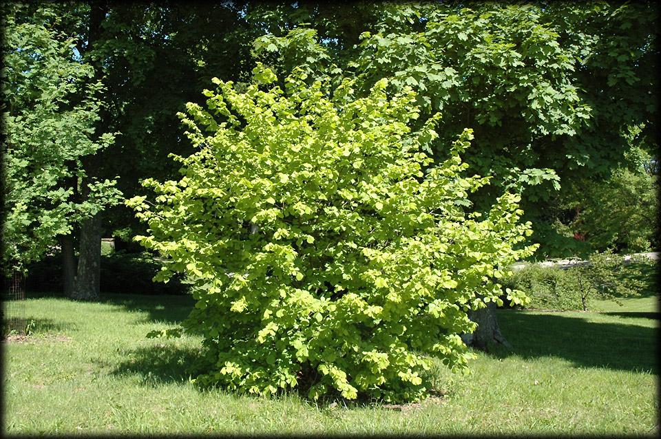 Bear S Bushcraft Blog Common Hazel Corylus Avellana