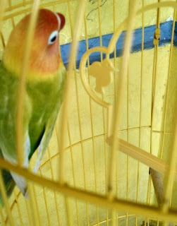 Cara Membuat Kandang Ternak Lovebird dari Kayu Bekas