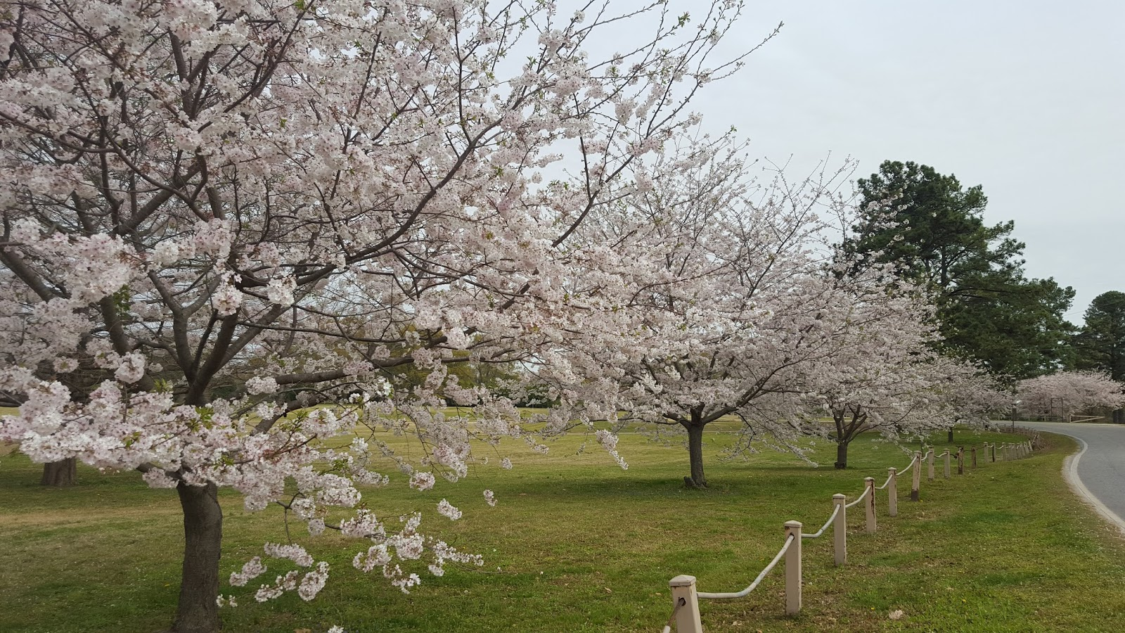 Divers and sundry cherry blossoms for Garden trees memphis