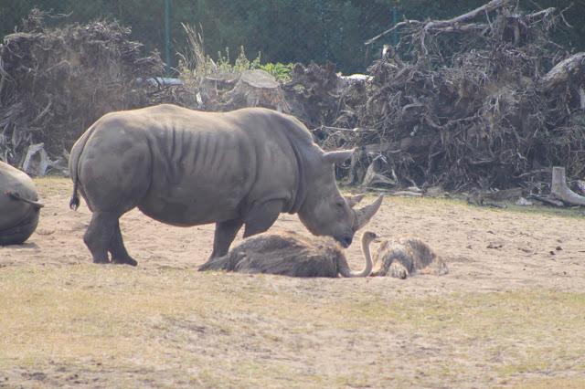 Safari in Deutschland mit Nashörnern