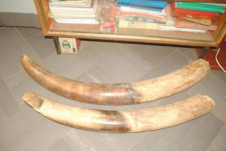 Photos: Nigeria Customs seizes two pieces of elephant tusks at Lolo Border Area in Kebbi State
