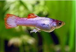 Jenis Ikan Guppy Flag Tail