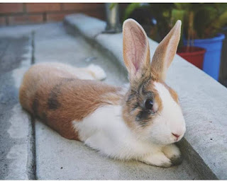 Baby Max on his first venture into the back yard. He is lying down on the back door ramp, legs stretched out behind him.  He still has his baby features of a head that is much larger than the rest of him, and ears that are larger still!  His little front legs are barely able to be seen underneath his dewlap.