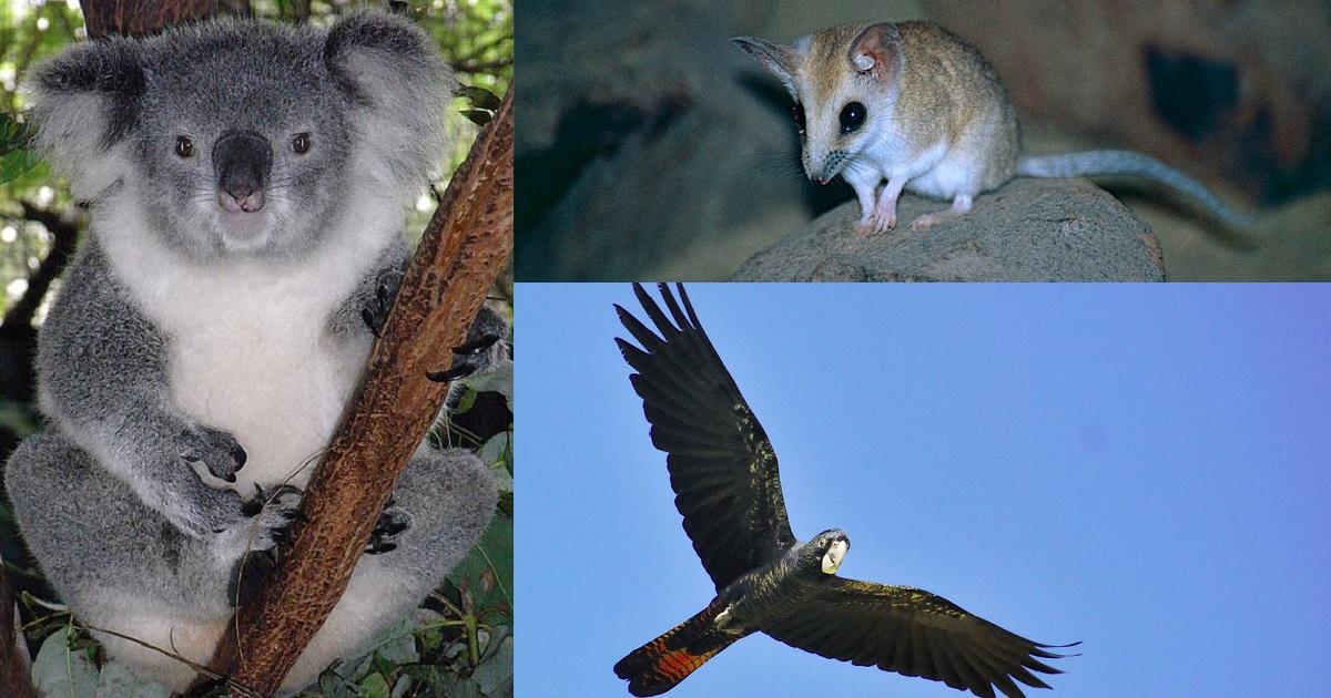 Australian Bushfires Have Eliminated Entire Species, Including 25,000 Koalas