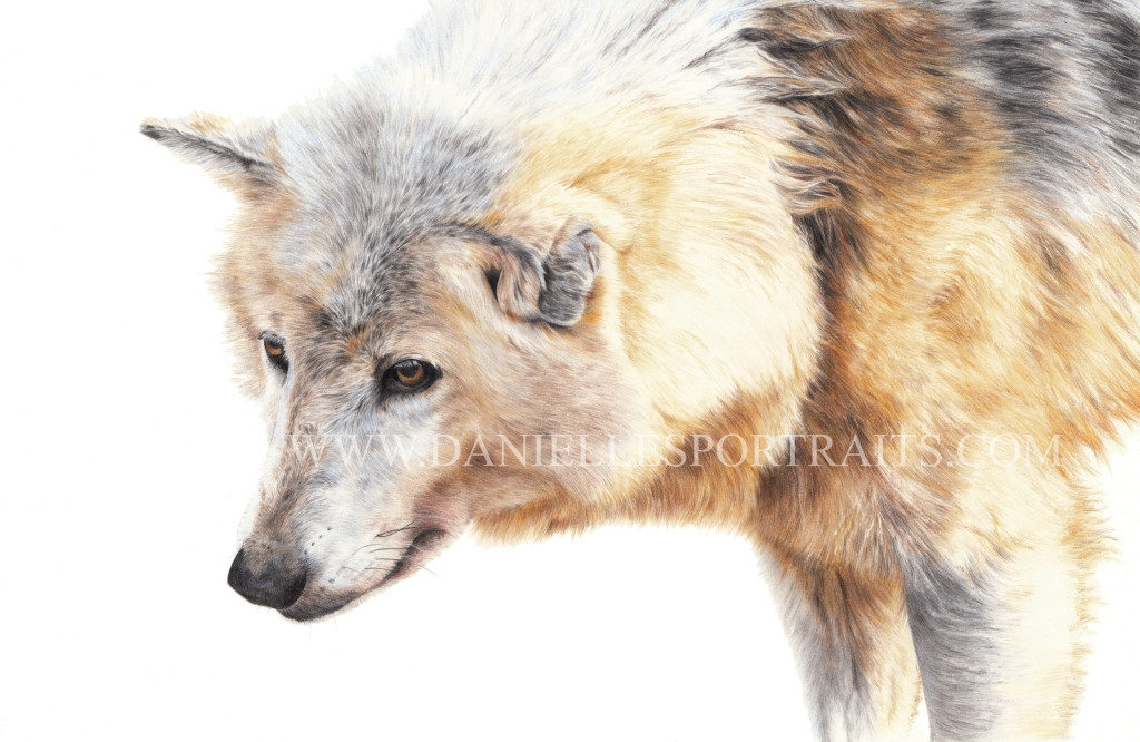 14-Wolf-Danielle-Fisher-Realistic-Pet-and-Wildlife-Portraits-www-designstack-co