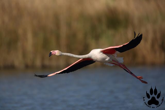 flamant-rose-parc-ornithologique-pont-de-gau