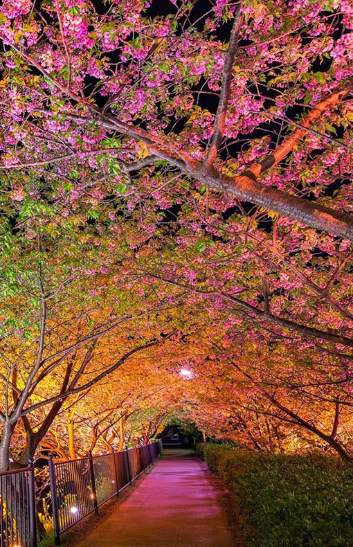 Sakura Tunnel Japan