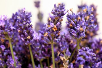 Image of lavender flowers blooming