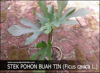 Cara stek pohon buah Tin (Ficus carica L.)