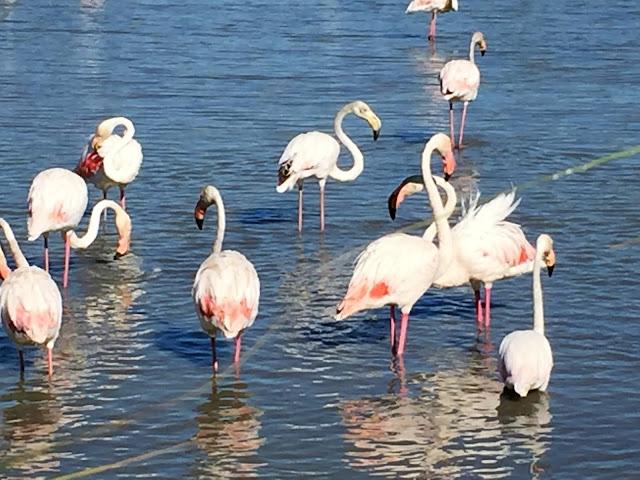 Flamingo in Südfrankreich
