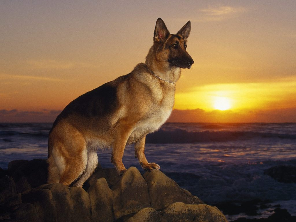 German Shepherd dogs and puppies: German Shepherd pictures