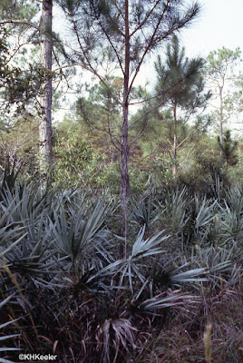 Texas forest, pines and palmettos