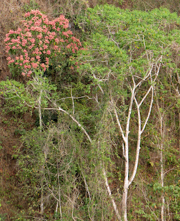 Red Flowering Tree in Puriscal