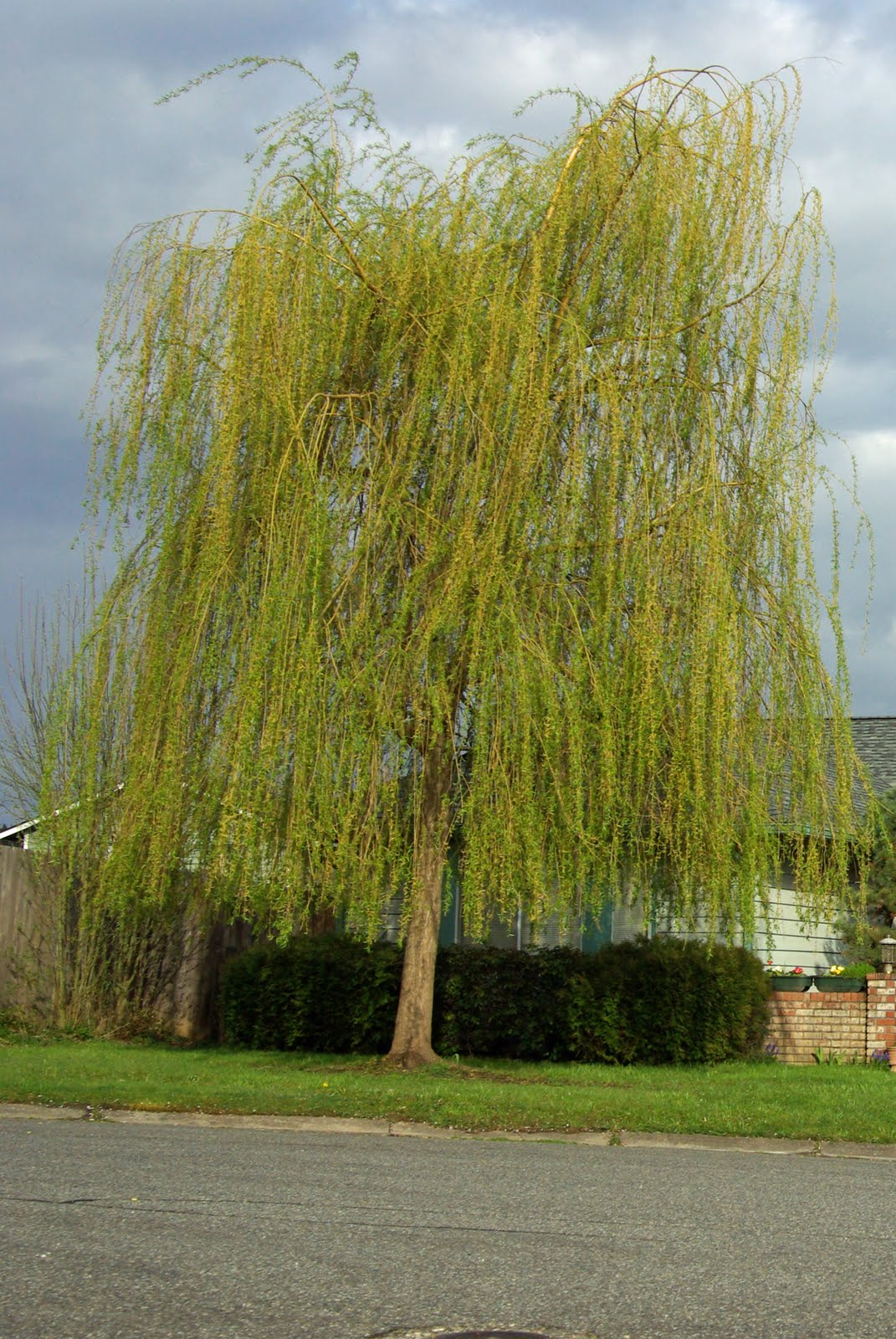 A Yellow Rose Of Texas Life Lessons From My Weeping Willow Tree