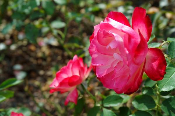 baden bei wien doblhoffpark roses roseraie