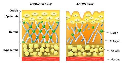 Structure de la peau - Collagène - Blog