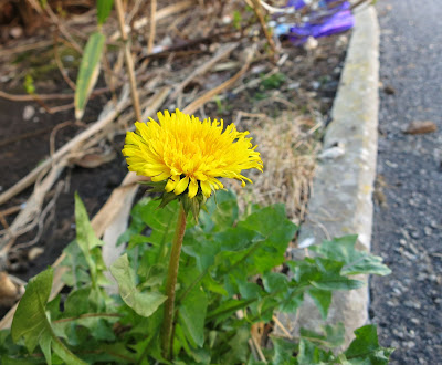 Dandelion flower at the street edge of an untended garden.