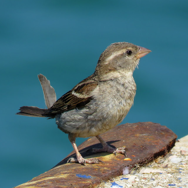 Sparrow by the sea, Molo Mediceo, port of Livorno