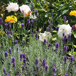 Lavendel und Rosen im Garten