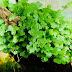 Rau Má 6 tác dụng, tác hại của cây rau má!