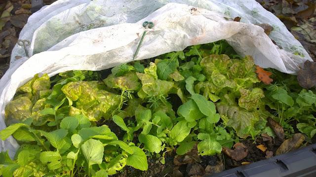 Salat unter schützendem Vlies (c) by Joachim Wenk