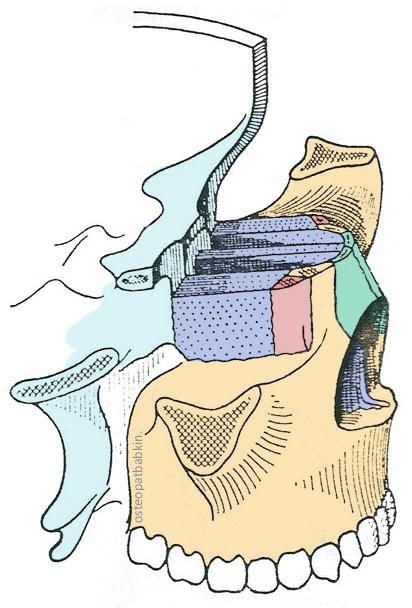 Топография верхней челюсти Maxilla шов слезной костью, решетчатой костью, носовыми костями, клиновидной костью