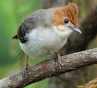 Suara Burung Yuhina kalimantan