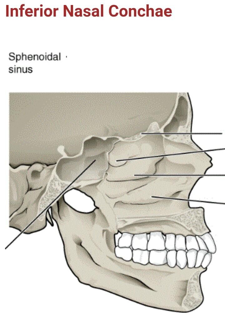 Inferior nasal conchae - BestArewa Blog - Home of Exclusive Updates