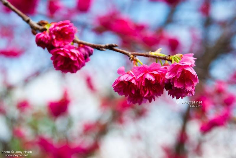 后里 泰安派出所 櫻花