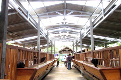 Wisata Sambil Belajar Peternakan Kambing Etawa Kaligesing