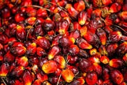 Oil Palm Production In Nigeria (Get A Business Plan & A Feasibility Study)