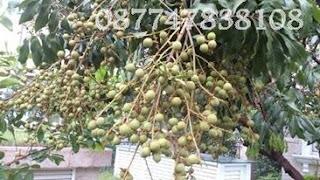 cara agar buah kelengkeng berbuah lebat