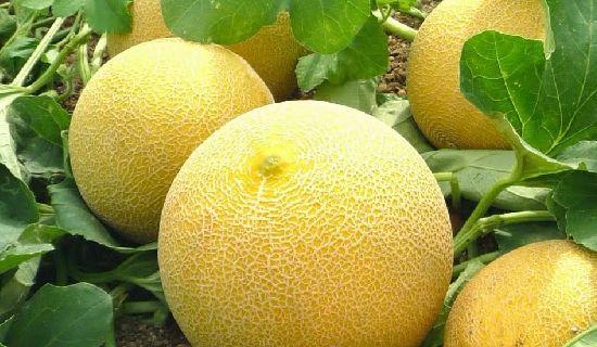 Selain enak dikonsumsi ternyata buah melon memiliki manfaat untuk kesehatan, bukan hanya kesehatan namun lebih spesifik lagi ternyata terdapat manfaat buah melon untuk ibu hamil.