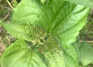 Manfaat Tumbuhan Balakacida Sungguh Luar Bisa Untuk Macam Macam Penyakit