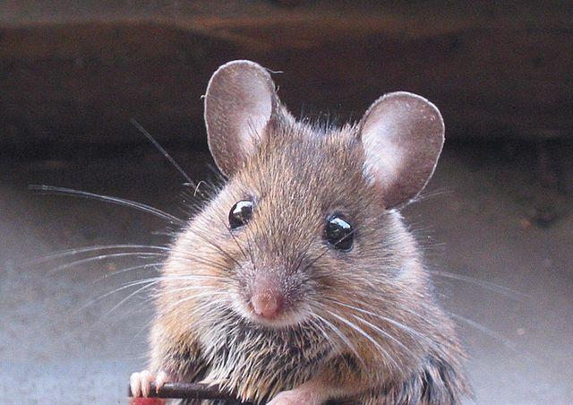 Cara Sederhana Untuk Membuat Perangkap Tikus Di Rumah