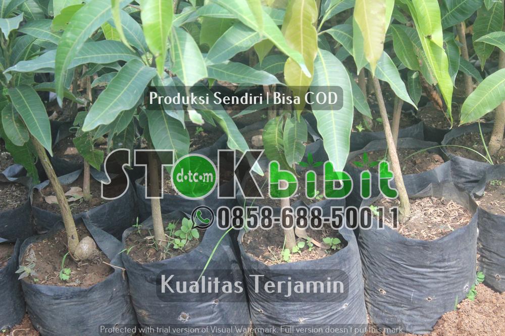 Cara Menanam Durian Agar Cepat Berbuah      Unggul       Lengkap