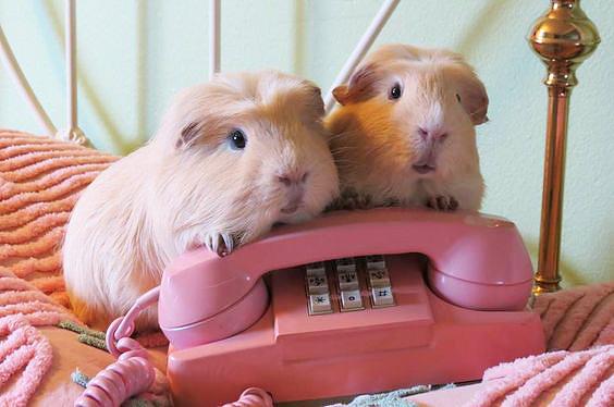 Cavia's bij een roze telefoon