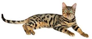 Kucing Ashera dan Karakteristiknya