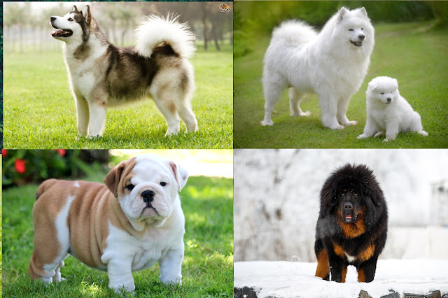 Jenis Anjing Dengan Harga Termahal di Dunia