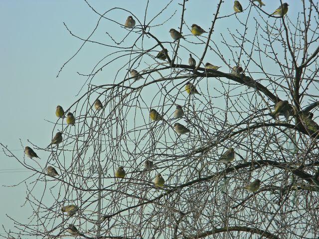 dzwońce, zima, oczekiwanie, ptaki